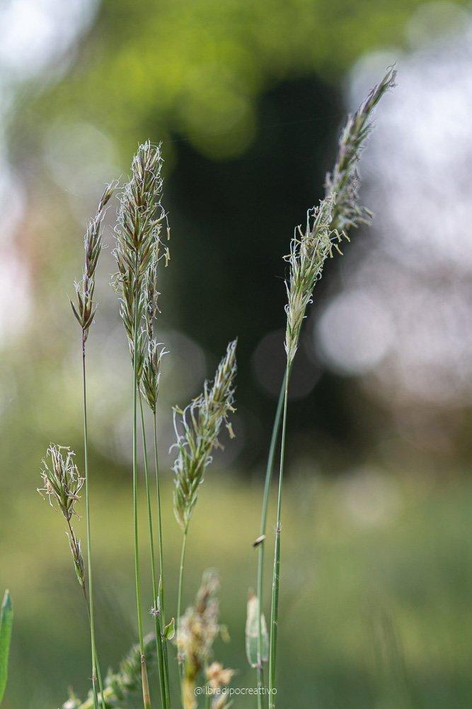 fili d'erba vede in primissimo piano con tutto lo sfondo sfocato che crea degli effetti luminosi detto bokeh, come tante palline luminose che creano un effetto magico.