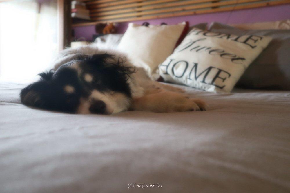 foto di una camera da letto con molti cuscini sopra il letto e un cane bianco e nero che dorme pacifico sul letto fatto, in primo piano il musino addormentato e il naso nero nero sul musino bianco. L'atmosfera è un po' sfocata, sognante, onirica.