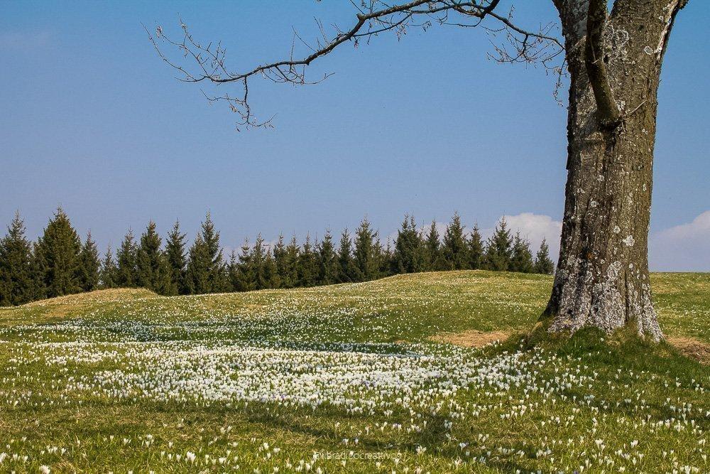 Un albero sulla destra con un panorama di cielo blu, pini verdi all'orizzonte e uno splendido prato verde pieno di fiori bucaneve bianchi, sensazione di quiete, di meravigliosa natura e di primavera.
